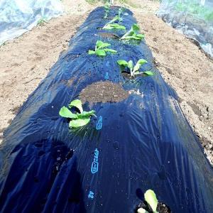 レタスと白菜の植え付けなど