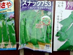 エンドウの種蒔き