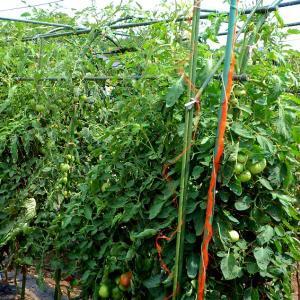 トマトに防鳥ネットを張る