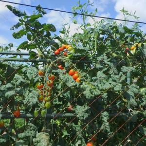 トマトの様子など