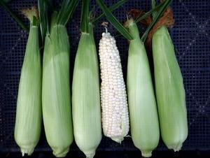 2作目のトウモロコシ収穫など
