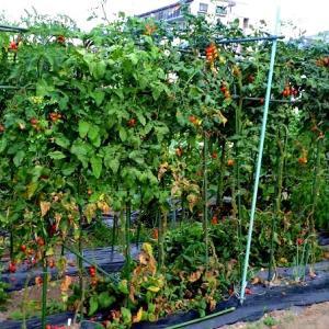 トマトはソロソロ終わりを迎える
