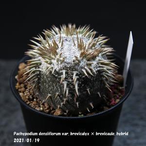 Pachypodium  brevicalyx × brevicaule. hybrid