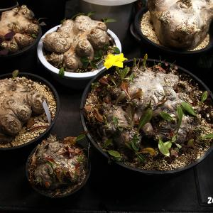 Pachypodium brevicauleが増えました。