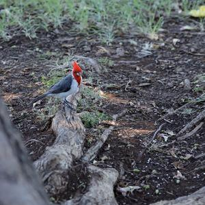 ハワイの野鳥