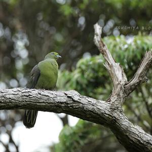 奄美の野鳥