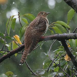 雨の日のツツドリ