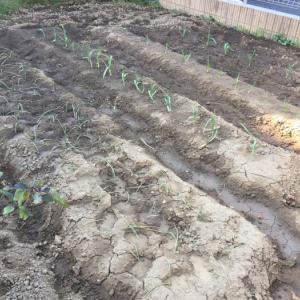 畑も冬の季節になりニンニクは成長していてタマネギの苗を植えました。