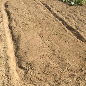 ジャガイモの収穫後、石灰を撒いて耕し1週間経ったのでキュウリのタネを巻く事にしました。