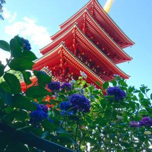きれいな紫陽花@高幡不動尊★東国花の寺巡礼開始!