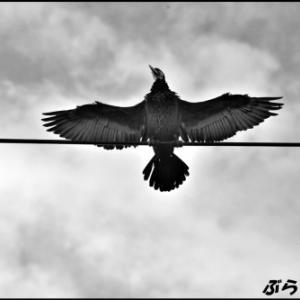 電線にとまって羽を乾かす鵜
