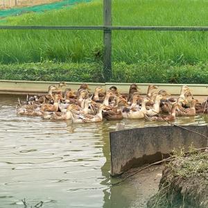 合鴨農法の合鴨達。