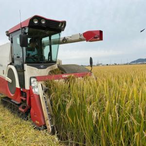 飼料用米の稲刈りが終盤戦。