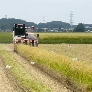 白鷺に囲まれての稲刈り