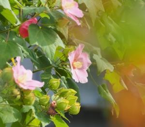 芙蓉の花、、。