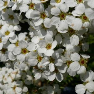 庭に咲いたこごめの花