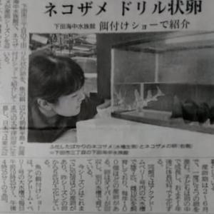 伊豆新聞掲載=ネコザメ ドリル状卵