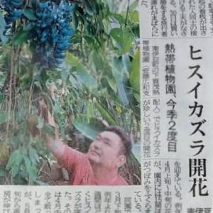 伊豆新聞掲載=ヒスイカズラ開花
