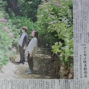 伊豆新聞掲載=アジサイ咲き始める