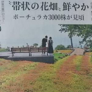 """伊豆新聞掲載= """"帯状の花畑"""" 鮮やか"""