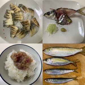 【城ヶ島・三崎港・北条湾】骨骨しい魚は入れ替わりましたがウルメ・マイワシは依然好調!(2019年9月22日)