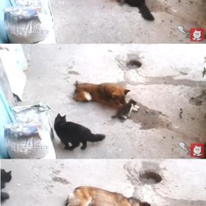 子猫を野良犬に紹介する母猫