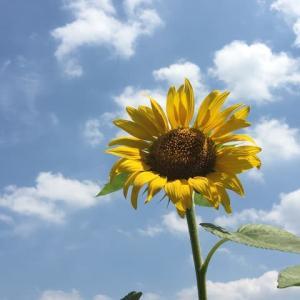 バルコニーの向日葵