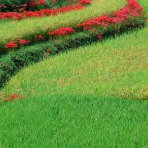 彼岸花の咲くころ