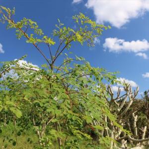 宮古島モリンガの自然農場