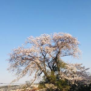 桜と鶯 緊急事態宣言前日の東京