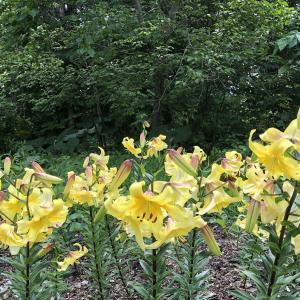 世界の百合の花 百合が原公園 札幌 つづき