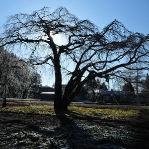 枝垂れ桜の樹氷