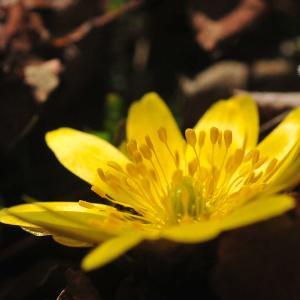 福寿草が咲いた