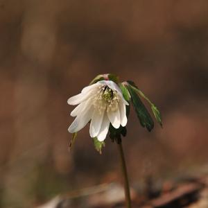 津金寺に咲く花・アズマイチゲ