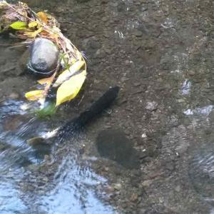 精進川に鮭