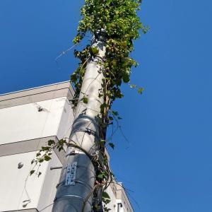 街の電信柱に「ホップ」のつる