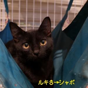 黒猫ルキ里親決定