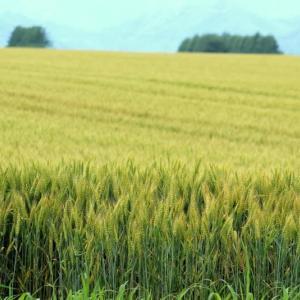 麦畑に立つ、焦りが出てきました