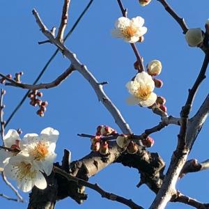 梅の花が満開に