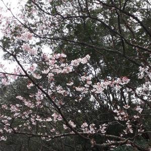 伊勢、二つの宿り木桜