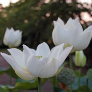 ハスの花の季節