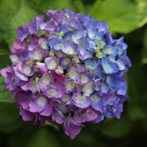 紫陽花の新色が現れた♪