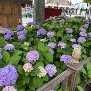 ディズニーシー、アメフロの紫陽花