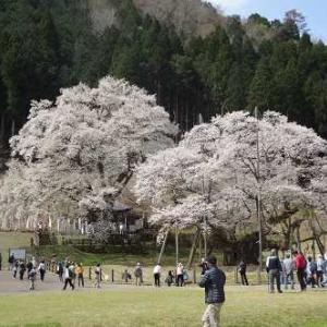 2021 3月に手放した数 と 根尾の薄墨桜と我が家の桜
