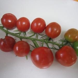 ミニトマトの収穫が始まりました。