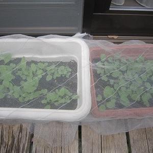 箱庭菜園秋野菜準備