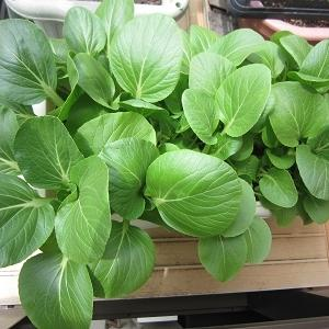 青梗菜の成長