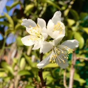 さくらんぼの花が咲いたよ