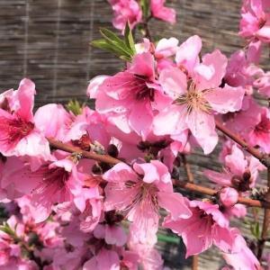 Ichii島から春 桃の花満開