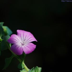 お花を撮る時のすきなシチュエーション♪
